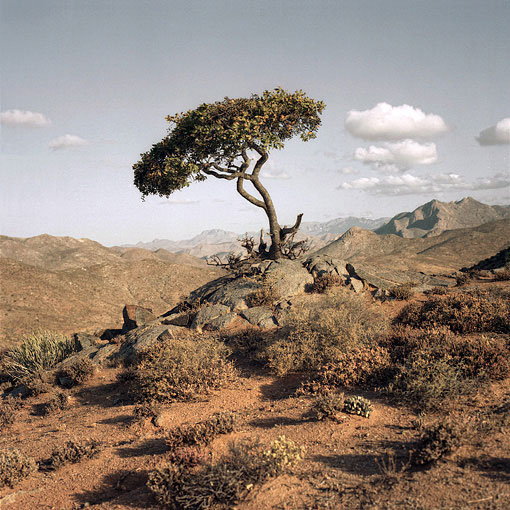 Lone tree in the Richtersveld.